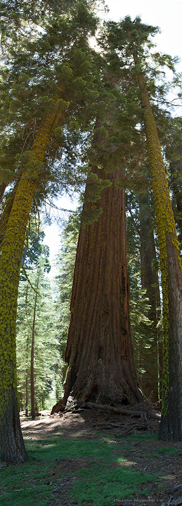 Giant Redwood Panoramic