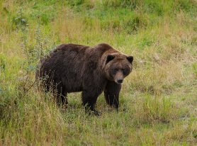 Big Brown Bear in Alaska