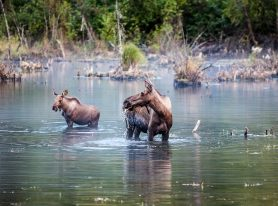 Found Mama Moose and her baby in a wetland near Palmer, Alaska